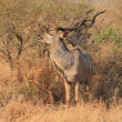 Greater Kudu — Stock Photo #55274175