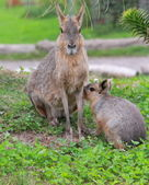 Patagonian mara with young — Stock Photo