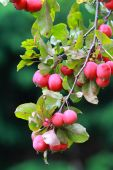 Ripe crab apples — Stock Photo