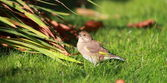 Juvenile Goldfinch — Stock Photo