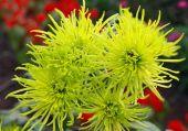 Spray chrysanthemum — Stock Photo
