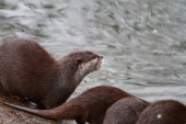 An otter — Stock Photo