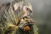White faced saki monkey Pithecia pithecia — Stock Photo