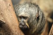 White faced saki monkey Pithecia pithecia — Stockfoto