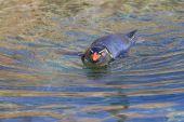 Rockhopper penguin in water — Stock Photo