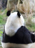 Back of a Giant Panda — Stock Photo