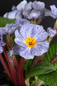 Blue striped primrose — Stock Photo