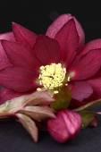 Heleborus niger — Stock Photo