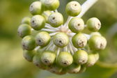 Fatsia Japaonica flower buds — Stock Photo