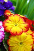 Yellow and orange primula — Stock Photo