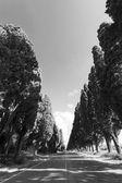 Cypress avenue of Saint Guido — Stock Photo