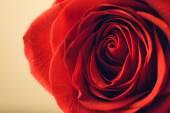 Soft natural light falling onto a velvet blood-red Valentine rose — Stock Photo