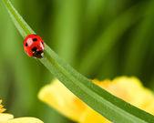 Ladybug on Grass Over Green Bachground — Stock Photo
