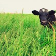 Cow and field of fresh grass — Stock Photo #77018971