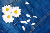 Camomile in jeans pocket — Stock Photo