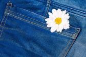 Camomile in jeans pocket — Stock Photo