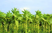 Growing tobacco on a field in Poland — Stock Photo