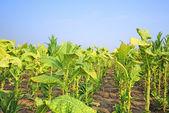 Cultura do tabaco em um campo na Polónia — Fotografia Stock