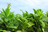 Tobbaco plantation in Poland — Stock Photo