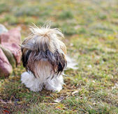 Shi tzu dog — Foto de Stock