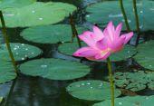 Lotus — Stock Photo