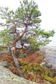 Pine trees grow on rocky hills — Foto Stock
