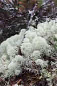 Lichene di renna (Cladonia portentosa) — Foto Stock