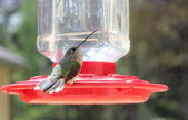 Broad Tailed Hummingbird — Stock Photo