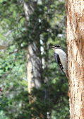 Hairy Woodpecker — Stock Photo