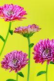 Kwiat na białym tle — Zdjęcie stockowe