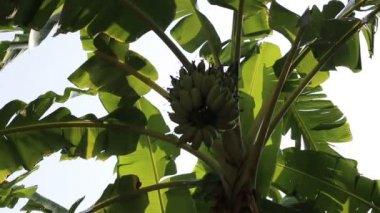 Swaying banana leaves and green banana cluster — Stock Video
