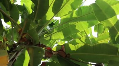 Swaying green banana leaves in the wind — Stock Video