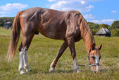 Horse on background of pasture — Stock Photo