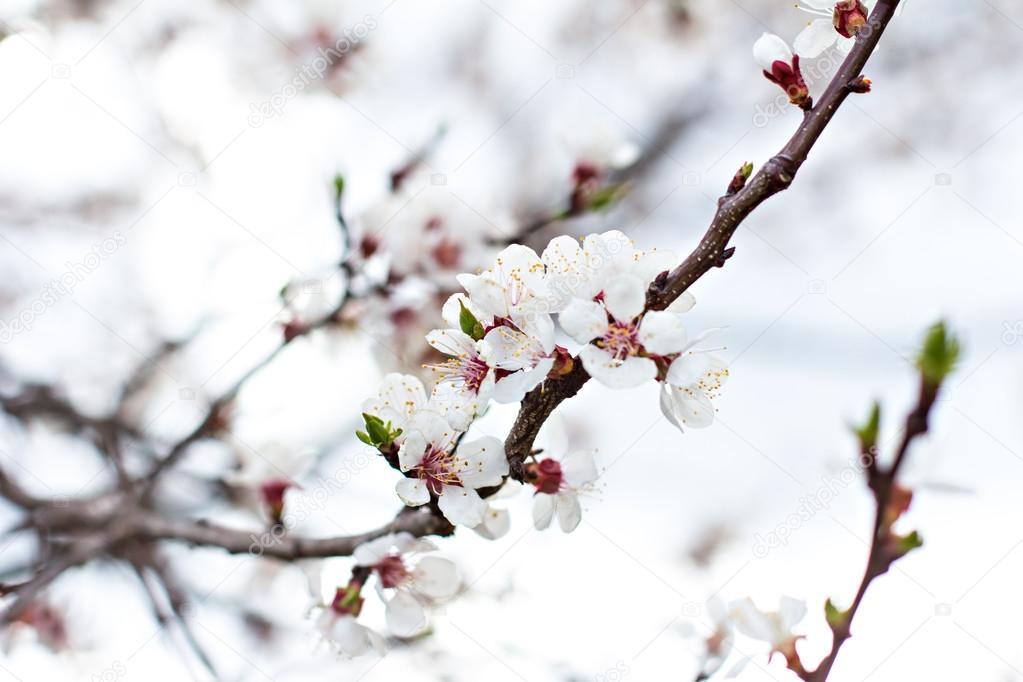 Fleurs de l 39 abricotier fleurs blanches du printemps sur une branche d 39 arbre abricotier en - Arbre fleurs rouges printemps ...