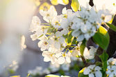 Cherry blossoms on a branch in a garden in the sunshine — Stock Photo