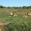 Постер, плакат: Two Kalahari lions in the Addo Elephant National Park