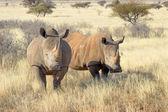White rhinos — Stock Photo