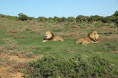 Two Kalahari lions in the Addo Elephant National Park — Stock Photo