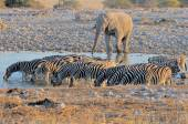 Elefantes y cebras al atardecer — Foto de Stock