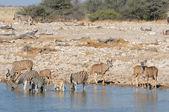 Zebras and kudu drinking water — Stock Photo