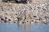 Kudu bull drinking water — Stock Photo
