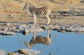 Zebra reflection — Stock Photo
