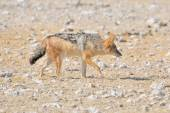 Black-backed, silver-backed or red jackal — Stock Photo