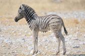 влажная жеребенок зебры, этоша, намибия — Стоковое фото