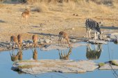 Impala e zebre — Foto Stock