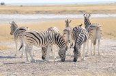 Zebras licking salt at Etosha Pan, Namibia — Foto de Stock