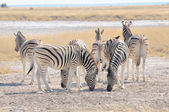 Zebras licking salt at Etosha Pan, Namibia — Foto Stock