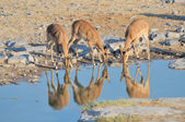 Young Impalas drinking — Stock Photo