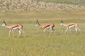 Springbok trio — Stock Photo