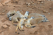 Meerkat gang or family — Stok fotoğraf